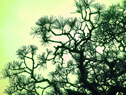 pine-tree (NaomiIbuki)