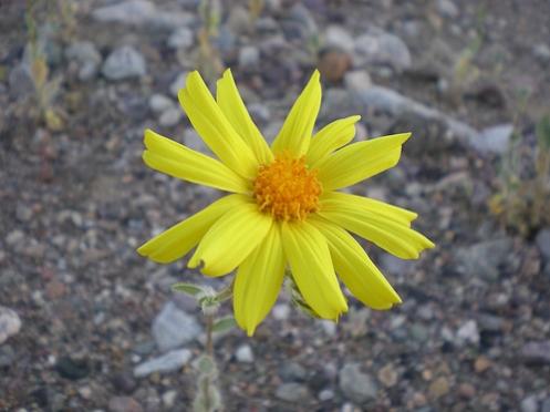 desert-flower-todd-langowski