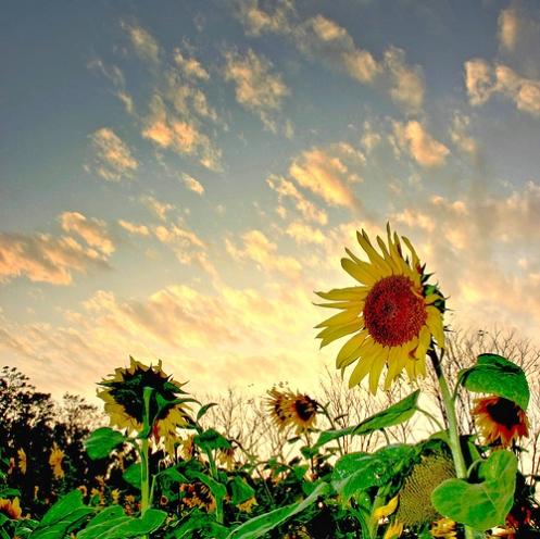 sunflowers-at-sunset-jamesc2